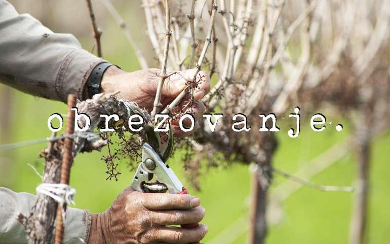 Rez vinske trte