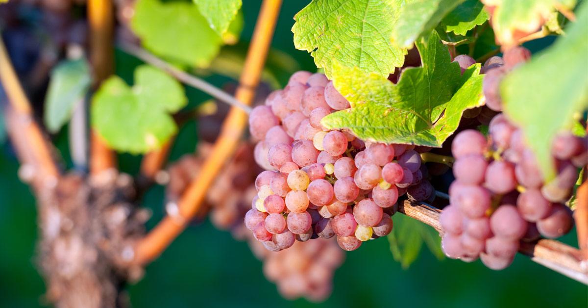 traminec-grozdje-izgled