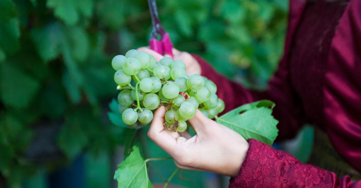 trgatev-belega-grozdja